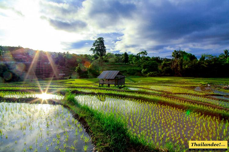 rice fields chiang mai