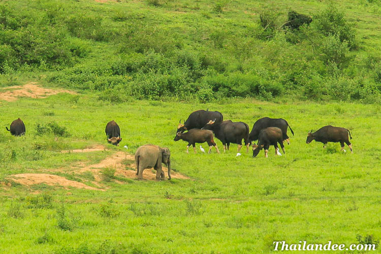 kuiburi national park elephants sauvages thailande