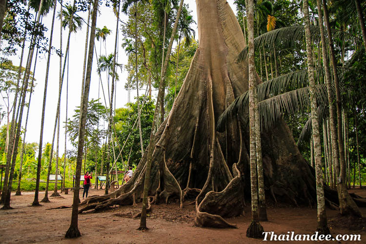 giant tree uthai thani