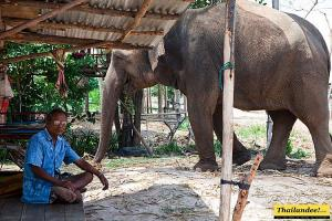 Elephant Surin Project Surin